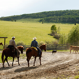 3 horses pushing steers in