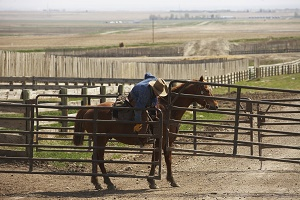 Cowboy on horse opening a feedlot gate