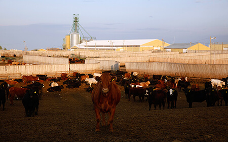 Beef Cattle in a feedlot pen